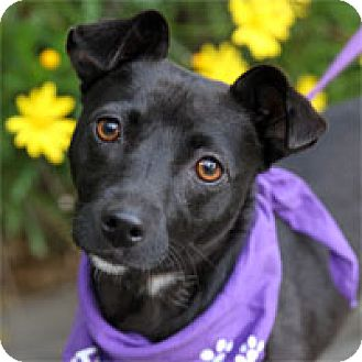Terrier (Unknown Type, Medium) Mix Dog for adoption in Pacific Grove, California - Alice