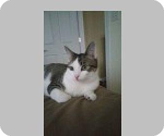Domestic Shorthair Cat for adoption in Pittsboro, North Carolina - Geoffrey