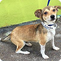 Adopt A Pet :: PeeWee - Phoenix, AZ
