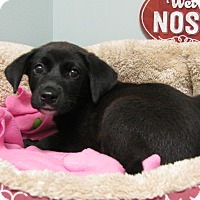 Adopt A Pet :: Inky - Groton, MA