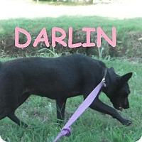 Adopt A Pet :: Darlin - Batesville, AR
