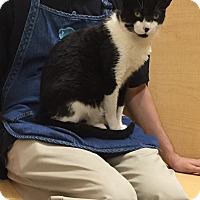 Adopt A Pet :: Precious, Lap Cat - Salem, NH