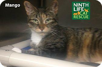 Domestic Shorthair Cat for adoption in Oakville, Ontario - Mango