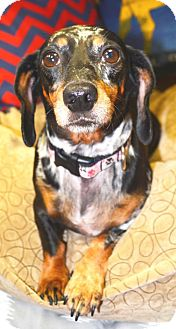 Dachshund Mix Dog for adoption in Horn Lake, Mississippi - Roxie