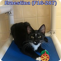 Domestic Longhair Cat for adoption in Tiffin, Ohio - Ernestina