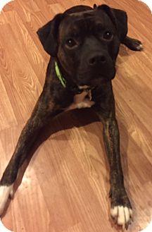 Boxer Dog for adoption in Chambersburg, Pennsylvania - Reggie