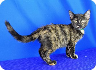 Calico Kitten for adoption in Carencro, Louisiana - Ophelia