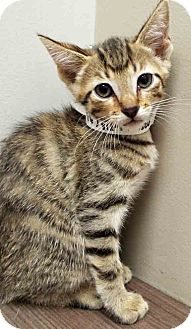 Domestic Shorthair Kitten for adoption in Downers Grove, Illinois - Moved to Hinsdale Lester