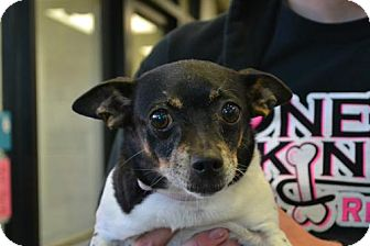 Toy Fox Terrier Mix Dog for adoption in Akron, Ohio - Emma