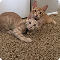 Domestic Shorthair Cat for adoption in Brea, California - JASPER & SIMBA