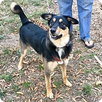 German Shepherd Dog/Border Collie Mix Dog for adoption in Memphis, Tennessee - Ginger
