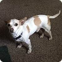 Chihuahua Mix Dog for adoption in Richmond, Virginia - Marley