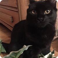 Domestic Mediumhair Cat for adoption in Virginia Beach, Virginia - Jaxson