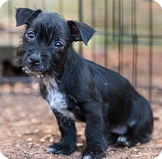 Poodle (Miniature)/Terrier (Unknown Type, Medium) Mix Puppy for adoption in Brownsboro, Alabama - Chrissie Hynde
