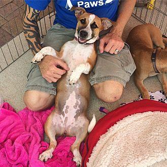 Corgi/Shepherd (Unknown Type) Mix Puppy for adoption in Acworth, Georgia - Gabriella
