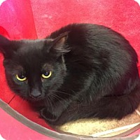 Domestic Shorthair Kitten for adoption in Cumming, Georgia - Ivy