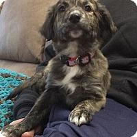 Adopt A Pet :: Buddy - Bernardston, MA