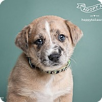 Adopt A Pet :: Apollo - Chandler, AZ