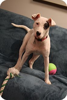 Bull Terrier/Labrador Retriever Mix Dog for adoption in Homewood, Alabama - Elsa