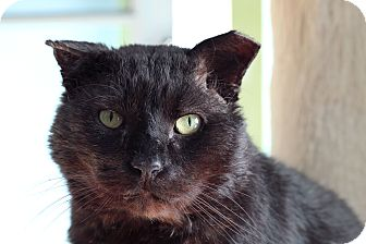 Domestic Shorthair Cat for adoption in Chicago, Illinois - Gorilla Biscuit