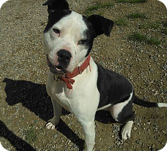American Pit Bull Terrier Dog for adoption in Lapeer, Michigan - Sparky~ADOPTED!