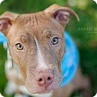 Adopt A Pet :: Chaz - Reisterstown, MD