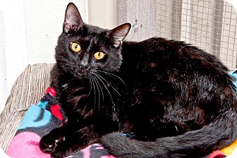 Domestic Shorthair Cat for adoption in Cashiers, North Carolina - Midnight