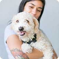 Adopt A Pet :: Meeeeester Pooooodle - Los Angeles, CA