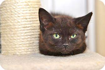 Domestic Longhair Kitten for adoption in Davis, California - Chello