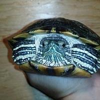 Adopt A Pet :: Donashello - Markham, ON