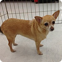 Chihuahua Mix Dog for adoption in Inverness, Florida - Buttercup