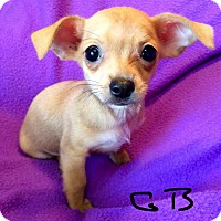 Adopt A Pet :: Gummy Bear - Los Angeles, CA