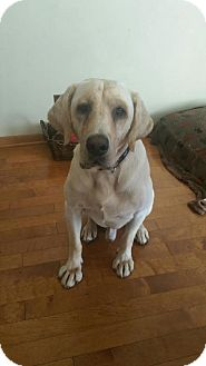 Labrador Retriever Dog for adoption in Princeton, Minnesota - Izzy