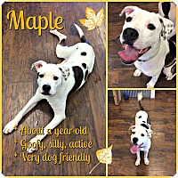 Pit Bull Terrier/Terrier (Unknown Type, Medium) Mix Dog for adoption in Colmar, Pennsylvania - Maple