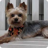 Yorkie, Yorkshire Terrier Mix Dog for adoption in Byrdstown, Tennessee - Jake