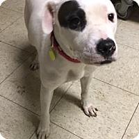 Adopt A Pet :: Sophia- Ohio - Fulton, MO