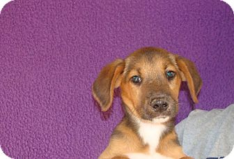 Beagle Mix Puppy for adoption in Oviedo, Florida - Willow