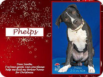 American Bulldog/Labrador Retriever Mix Dog for adoption in Ringwood, New Jersey - Phelps