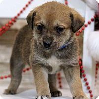 Adopt A Pet :: Cadence - Waldorf, MD