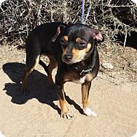 Adopt A Pet :: Beautiful LITTLE Brooke ~ Chiweenie - Albuquerque, NM