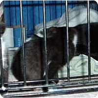 Adopt A Pet :: Smokey and kitens - Westfield, MA