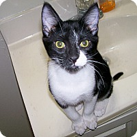 Adopt A Pet :: Hydrox - Scottsdale, AZ