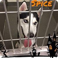 Adopt A Pet :: Spice - Zanesville, OH