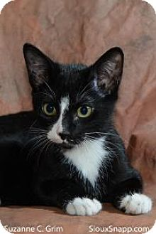American Shorthair Cat for adoption in New Orleans, Louisiana - Admiral