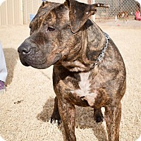 Pit Bull Terrier Mix Dog for adoption in Lubbock, Texas - Eeyore