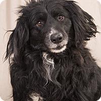 Adopt A Pet :: Penny BC - St. Louis, MO