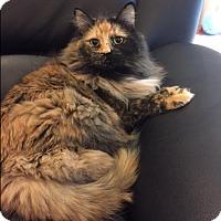 Adopt A Pet :: Luna - Plainville, MA