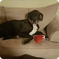 Adopt A Pet :: Sheeba - Austin, TX