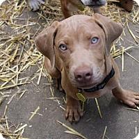 Adopt A Pet :: Lamar Bone - Alexandria, VA