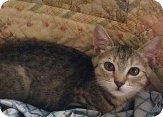 Domestic Shorthair Kitten for adoption in Sarasota, Florida - Hadley